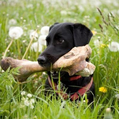 Los perros pueden comer huesos