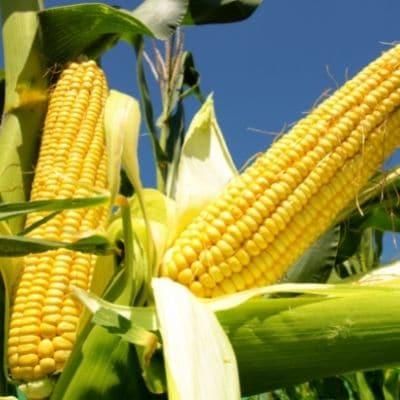 Los perros pueden comer maíz