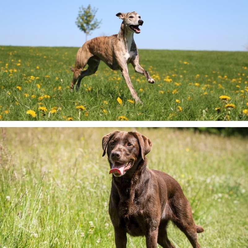 Mezcla de Whippet y Labrador