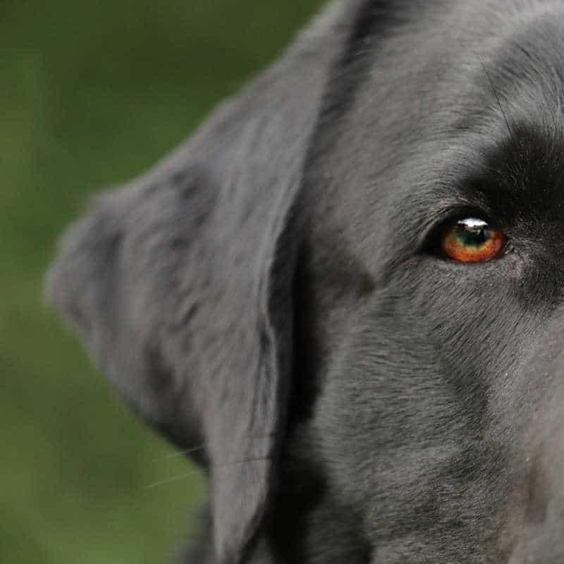 Pedialyte para perros