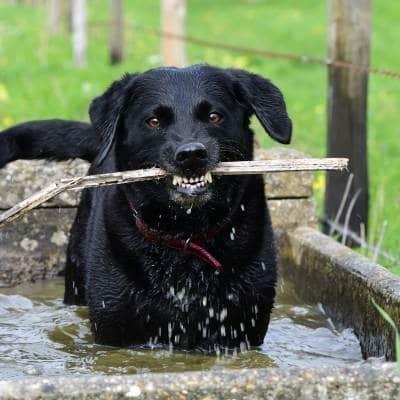 los perros alimentados con alimentos crudos tengan un pelaje más brillante o más energía