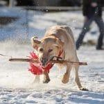 Problemas de salud del Labrador Retriever - Causas y recomendaciones