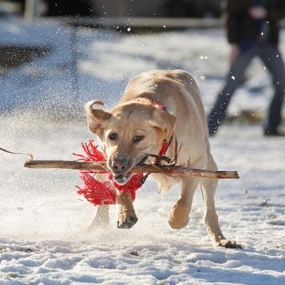 Problemas de salud del Labrador Retriever