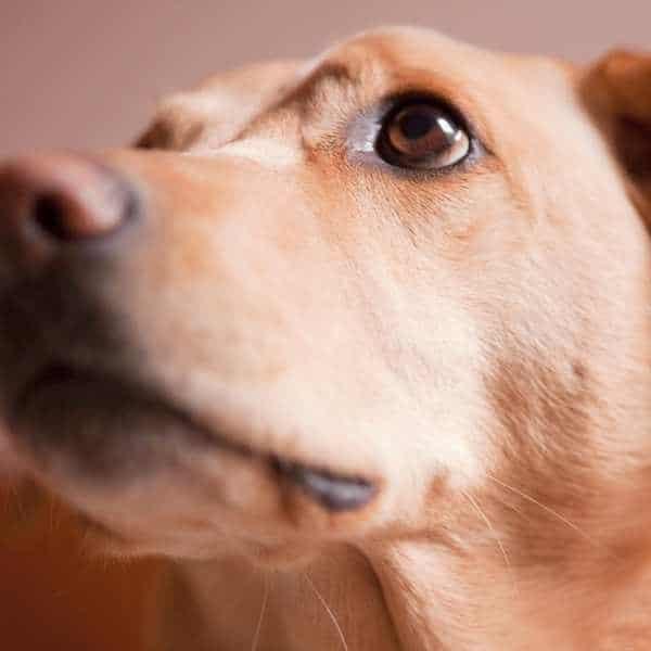Temaril P para perros