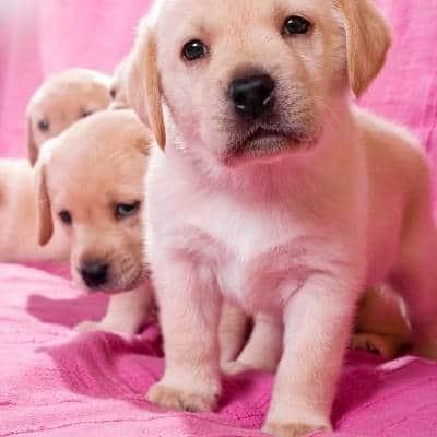 cachorros  7 semanas