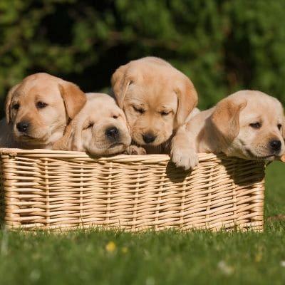 cachorros de la misma camada
